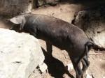 cochon 1
